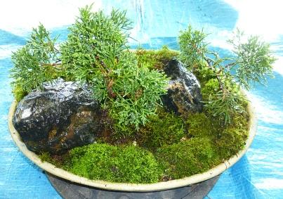 Chris G's juniper grove